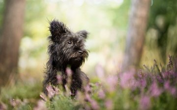 flowers, grass, nature, black, dog, terrier, shaggy