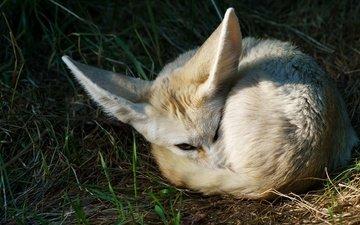 трава, природа, спит, лиса, фенек, лисица, уши