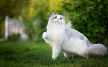 grass, nature, greens, pose, cat, garden, blue eyes, lawn, foot, ragdoll