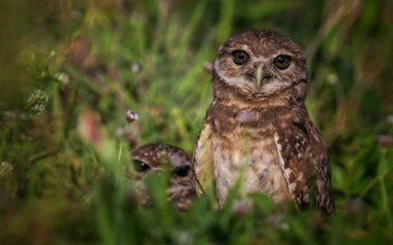 grass, nature, animals, bird, chicks, owls, owl, rabbit owl, burrowing owl