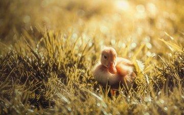 трава, птенец, природа, птица, утка, солнечно, боке, утенок