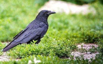 grass, bird, beak, raven, crow