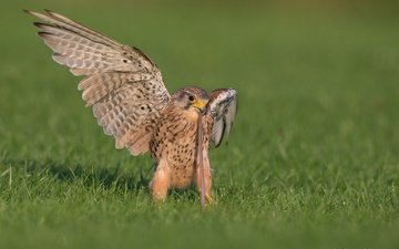 трава, крылья, хищник, птица, клюв, перья