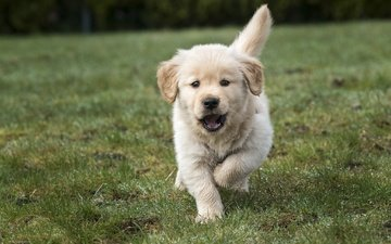 grass, puppy, golden retriever