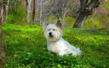 grass, dog, the west highland white terrier