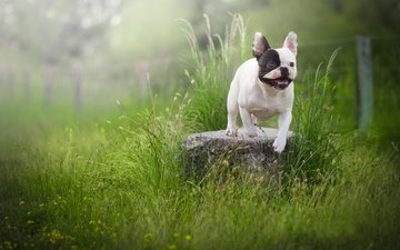 grass, dog, stone, french bulldog