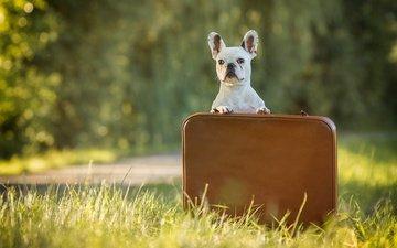 grass, dog, bulldog, case, french bulldog