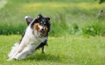 grass, muzzle, dog, language, running, lawn, collie, scottish shepherd