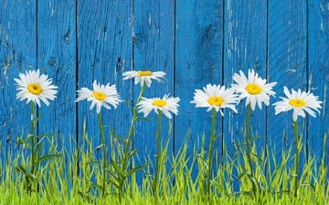 flowers, grass, petals, the fence, chamomile, white, stems