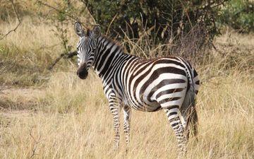 трава, зебра, африка, животное, полосатая, серенгети, сафари