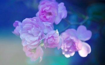 branch, macro, background, petals, briar, pink
