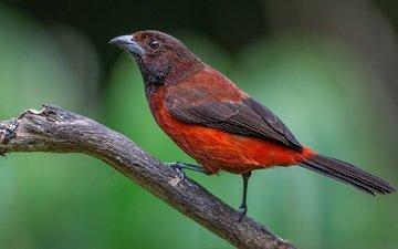 branch, bird, beak, tail, tanagra, painted tanagra