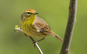 ветка, птица, клюв, перья, пальмовый лесной певун