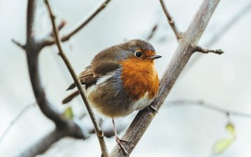 branches, bird, feathers, robin