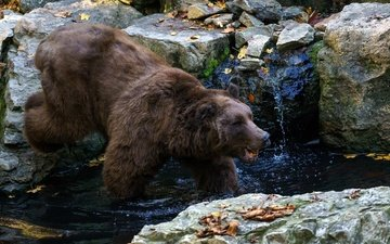water, stones, leaves, stream, autumn, bear, brown bear