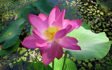 water, leaves, flower, petals, lotus, pink