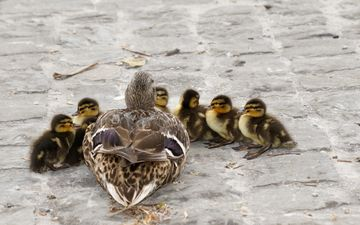 birds, ducklings, duck, chicks, mallard