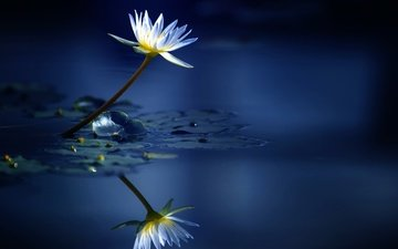 water, reflection, flower, lily, nymphaeum, water lily