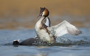 water, birds, duck, fight, great crested grebe, the great crested grebe