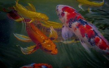 вода, рыбки, рыбы, подводный мир, карп кои
