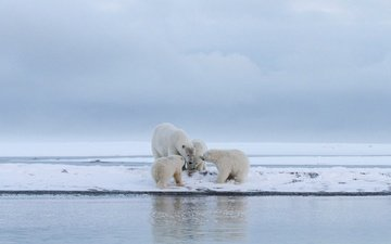 water, snow, winter, polar bear, bears, glacier, arctic, cubs, bear