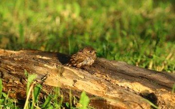 птица, воробей, травка, птичка, бревно, птинец