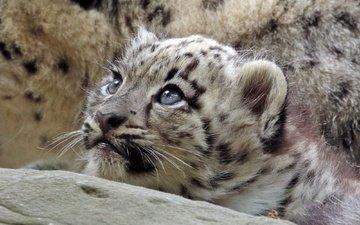 взгляд, хищник, снежный барс, дикая кошка, детеныш