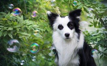 растения, взгляд, пузыри, собака, друг, мыльные пузыри, бордер-колли, wapi, erell.b