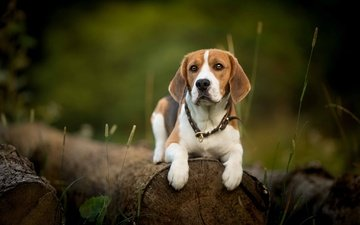 greens, muzzle, look, dog, collar, log, beagle, johnny