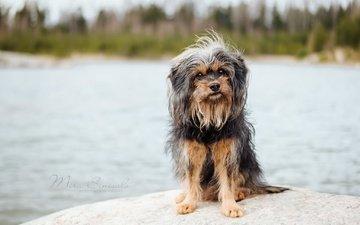 взгляд, собака, друг, йорк, йоркширский терьер