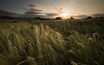 закат, лето, колосья, пшеница