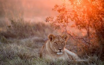 face, sunset, look, big cat, leo, lioness