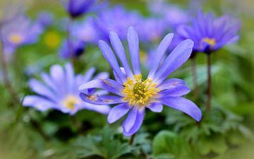 цветы, лепестки, растение, анемоны
