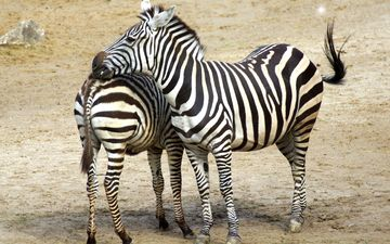 zebra, animals, africa