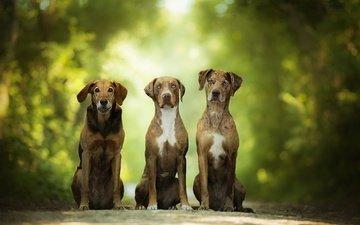 зелень, размытость, собаки, боке, catahoula leopard dog
