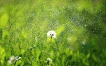 grass, greens, flower, rain, dandelion, seeds, fluff, fuzzes, blade
