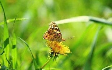 трава, зелень, насекомое, цветок, лето, бабочка, крылья, размытость, одуванчик, боке