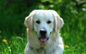 зелень, портрет, собака, друг, золотистый ретривер, голден ретривер