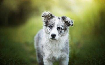 зелень, собака, щенок, алиса, собачка, боке, австралийская овчарка, аусси