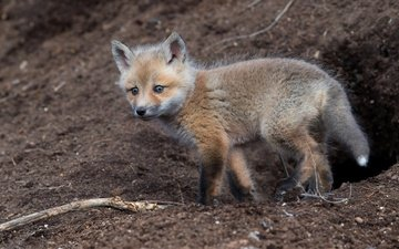 earth, background, look, fox, cub, nora