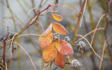 nature, leaves, branches, frost, autumn, briar, plant, closeup