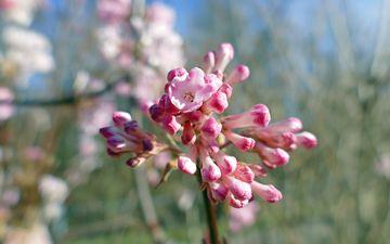 цветы, природа, цветение, весна, макросъемка, боке