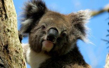 мордочка, взгляд, животное, коала