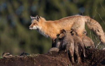 животные, дети, лиса, лисица, детеныши, мать, лисенок, лисята, кормление