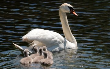 животные, водоем, птицы, лебеди, лебедь, птенцы, плывут, семейство, лебедята, пернатые
