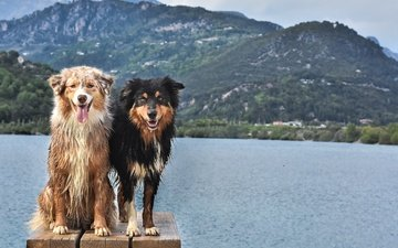 mountains, animals, look, pond, two, dogs, faces, australian shepherd