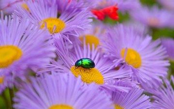 цветы, жук, макро, насекомое, лепестки, астры, сиреневые цветы
