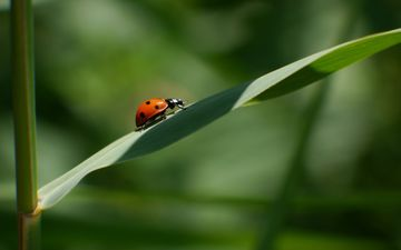 grass, nature, beetle, macro, sheet, ladybug