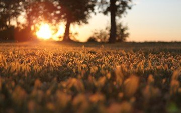grass, trees, the sun, sunset, macro, field, autumn, blur, spikelets