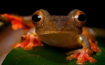 глаза, взгляд, лист, лягушка, крупный план, лапки, амфибия, земноводные